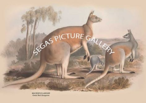 Fine art print of the MACROPUS LANIGER - Great Red Kangaroo  by John Gould (1841-2)